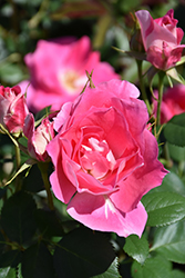 Carefree Wonder Rose (Rosa 'Carefree Wonder') at Roger's Gardens