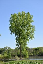 Black Poplar (Populus trichocarpa) at Roger's Gardens