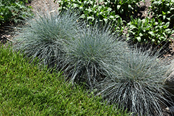 Blue Whiskers Blue Fescue (Festuca glauca 'Blue Whiskers') at Roger's Gardens