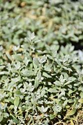 Silver Carpet Snow-In-Summer (Cerastium tomentosum 'Silver Carpet') at Roger's Gardens