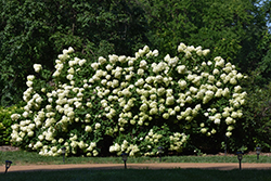 Limelight Hydrangea (Hydrangea paniculata 'Limelight') at Roger's Gardens