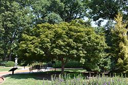 Trompenburg Japanese Maple (Acer palmatum 'Trompenburg') at Roger's Gardens