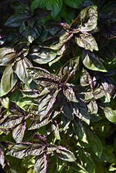Genovese Red Freddy Basil (Ocimum basilicum 'Genovese Red Freddy') at Roger's Gardens