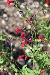 Cherry Chief Autumn Sage (Salvia greggii 'Cherry Chief') at Roger's Gardens