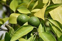 Tangor (Citrus reticulata x sinensis) at Roger's Gardens