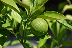 MidKnight Valencia Orange (Citrus sinensis 'MidKnight') at Roger's Gardens