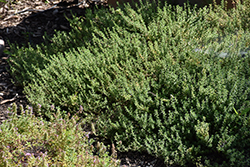 Common Thyme (Thymus vulgaris) at Roger's Gardens