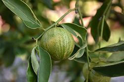 Centennial Variegated Kumquat (Fortunella margarita 'Centennial') at Roger's Gardens
