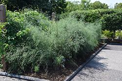 Purple Passion Asparagus (Asparagus 'Purple Passion') at Roger's Gardens