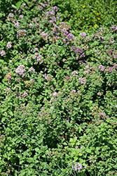 Hopley's Oregano (Origanum laevigatum 'Hopley's') at Roger's Gardens