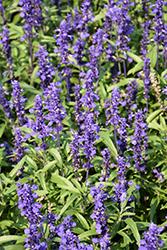 Velocity Blue Salvia (Salvia farinacea 'Velocity Blue') at Roger's Gardens