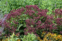 Euphoria Ruby Joe Pye Weed (Eupatorium purpureum 'FLOREUPRE1') at Roger's Gardens
