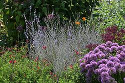 Little Lace Russian Sage (Perovskia atriplicifolia 'Novaperlac') at Roger's Gardens