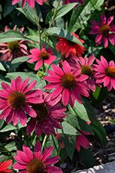 Sombrero Tres Amigos Coneflower (Echinacea 'Balsomtresgo') at Roger's Gardens