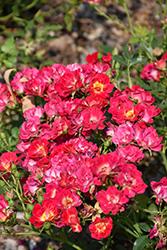 Pink Drift Rose (Rosa 'Meijocos') at Roger's Gardens