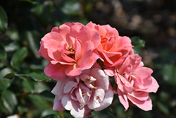Coral Knock Out Rose (Rosa 'Coral Knock Out') at Roger's Gardens