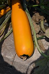 Easy Pick Gold Zucchini (Cucurbita pepo var. cylindrica 'Easy Pick Gold') at Roger's Gardens