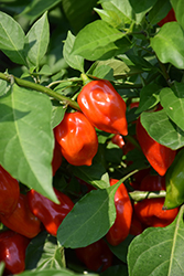 Primero Red Pepper (Capsicum chinense 'Primero Red') at Roger's Gardens