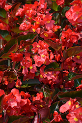 Megawatt Red Bronze Leaf Begonia (Begonia 'Megawatt Red Bronze Leaf') at Roger's Gardens