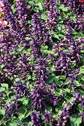 Vista Purple Sage (Salvia splendens 'PAS3292') at Roger's Gardens
