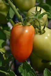 Pony Express Tomato (Solanum lycopersicum 'Pony Express') at Roger's Gardens