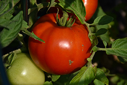 Defiant Tomato (Solanum lycopersicum 'Defiant') at Roger's Gardens