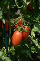 Maglia Rosa Tomato (Solanum lycopersicum 'Maglia Rosa') at Roger's Gardens