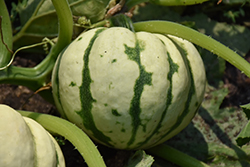 Harlequin Acorn Squash (Cucurbita pepo 'Harlequin') at Roger's Gardens