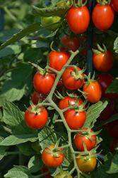Grape Tomato (Generic) (Solanum lycopersicum 'Grape') at Roger's Gardens