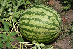 Watermelon (Citrullus lanatus) at Roger's Gardens
