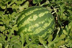 Top Gun Watermelon (Citrullus lanatus 'Top Gun') at Roger's Gardens