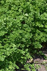 Triple Curled Parsley (Petroselinum crispum 'Triple Curled') at Roger's Gardens