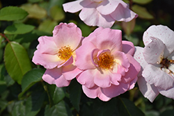 Peachy Knock Out Rose (Rosa 'Radgor') at Roger's Gardens