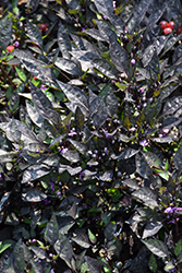 Onyx Red Ornamental Pepper (Capsicum annuum 'Onyx Red') at Roger's Gardens