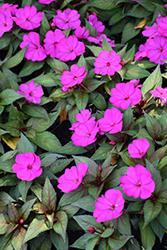SunPatiens Compact Purple New Guinea Impatiens (Impatiens 'SAKIMP037') at Roger's Gardens