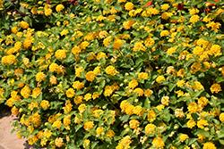 Lucky Pure Gold Lantana (Lantana camara 'Lucky Pure Gold') at Roger's Gardens