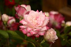 Grace N' Grit Pink Bicolor Rose (Rosa 'Meiryezza') at Roger's Gardens