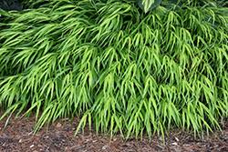 All Gold Hakone Grass (Hakonechloa macra 'All Gold') at Roger's Gardens