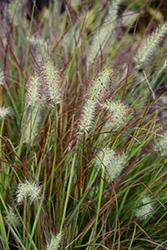 Burgundy Bunny Dwarf Fountain Grass (Pennisetum alopecuroides 'Burgundy Bunny') at Roger's Gardens