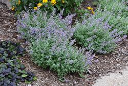Purrsian Blue Catmint (Nepeta x faassenii 'Purrsian Blue') at Roger's Gardens