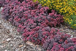 Dazzleberry Stonecrop (Sedum 'Dazzleberry') at Roger's Gardens