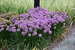 Millenium Ornamental Onion (Allium 'Millenium') at Roger's Gardens