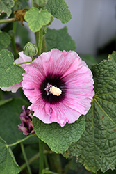 Halo Candy Hollyhock (Alcea rosea 'Halo Candy') at Roger's Gardens