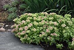 Autumn Delight Stonecrop (Sedum 'Autumn Delight') at Roger's Gardens
