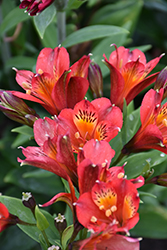 Inca Joli Alstroemeria (Alstroemeria 'Koncajoli') at Roger's Gardens