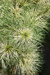Golden Ghost Japanese Red Pine (Pinus densiflora 'Golden Ghost') at Roger's Gardens