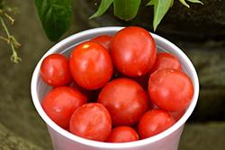Topsy Tom Tomato (Solanum lycopersicum 'Topsy Tom') at Roger's Gardens
