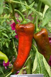Carmen Sweet Pepper (Capsicum annuum 'Carmen') at Roger's Gardens