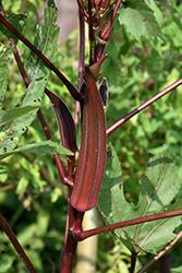 Red Burgundy Okra (Abelmoschus esculentus 'Red Burgundy') at Roger's Gardens