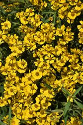 Sneezeweed (Helenium autumnale) at Roger's Gardens